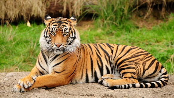 Kids Launch A Website To Save Tigers